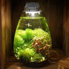 AQUA SHOP WASABI (Kyoto)#苔あかり #モスライト#mosslight #LED#Lighting#コケ#moss#terrarium #テラリウム#aqua#水草#lamps#interiordesign#plants#観葉植物#苔#インテリア#こけ#苔テラリウム#mossterrarium#ボトルテラリウム#苔盆栽#コケリウム#mossarium#mossmeister#照明