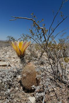 Echinocereus dasyacanthus, USA, Texas, Brewster Co.  More Pictures at: http://www.echinocereus.de