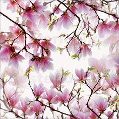Magnolienblüte Poster von Violetta Honkisz Atteloi