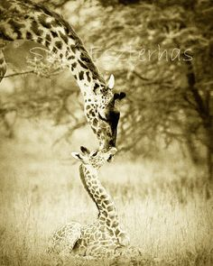 BABY GIRAFFE and MOTHER Photo 8 X 10 Sepia Print  by WildBabies, $25.00--kids room