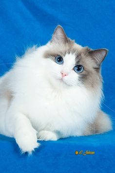 Ragdoll Cats Ragdoll Kittens by LottaRags Ragdoll Cattery - What's New