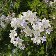 Solanum jasminoides is a marvelous climbing vine. Care, planting, pruning of this potato vine plant, here are the best practices for beautiful blooming Potato Vine Plant, Potato Vines, Plante Jasmin, Vine Drawing, Vine Trellis, Jasmine Plant, Belle Plante, Climbing Vines, Gardens