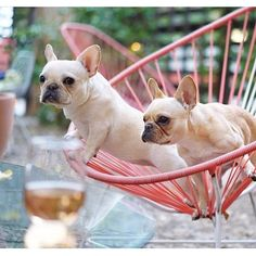 'Wine tasting', with Leo and his Sister, French Bulldogs, @frenchieleo on instagram.