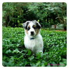 #home #dog #australianshepherd #thedecadentmess #blog #alabama