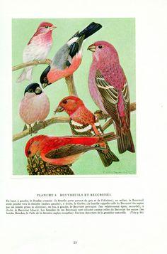 1961 Vintage finches print Vintage bird poster finch bird print finch poster Bird art Bird gift bird decor Ornithology gift by FrenchVintagePrints on Etsy https://www.etsy.com/uk/listing/286174903/1961-vintage-finches-print-vintage-bird