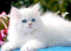 Los gatos personas es una raza muy hermosa pero no es sencilla de cuidar. Esto se debe a que son gatos que exigen bastante atención tanto en su alimentación como también en su higiene. Estos dos pu...