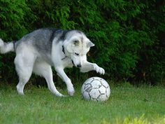 Perro de raza Husky Siberiano jugando a la pelota. Fotografia by Aiok y depositada en ShutterStock.