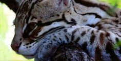 OCELOT Ocelot, Madness, Cats, Animals, Leopard Cat, Gatos, Animales, Animaux, Animal