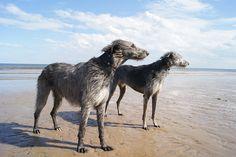 Bridlington beach ...with hounds