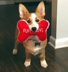 Taco wants to wish everyone a Happy Valentine's Day today and also to let everyone know he is single and ready to MINGLE❤️❤️❤️ submitted by: Lundyn Hunt Really Cute Puppies, Corgi Dog, Lions, Baby Animals, Dog Lovers, Pets, Corgis, Create, Addiction