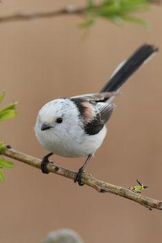 Aegithalos caudatus japonicus [シマエナガ,Long-tailed Tit] シマエナガちゃん、いろんな表情を見せてくれました(=^_^=)ほんとに可愛すぎますね~~ヽ(*^^*)ノ Today in Tokyo