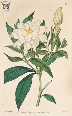 White Flowers 'Cape Jasmine' Gardenia Print Botanical Illustration for Invitations, Collages, Stationery, Decoupage, Crafts. by AntiqueStock on Etsy Vintage Botanical Prints, Botanical Drawings, Gardenias, Botanical Flowers, Botanical Art, Jasmin Tattoo, Jasmine Flower Tattoos, Yellow Rose Flower, Jasmine