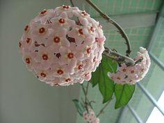 Flor de Cera (Hoya carnosa)