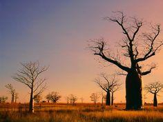 boab trees in The Kimberleys WA
