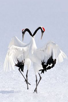 Japanese Crane Courtship Dance - Japanese cranes have one of the most intricate and beautiful courtship dances in the world. These birds can live for 60 years.