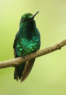 The Western Emerald (Chlorostilbon melanorhynchus) is a species of hummingbird in the Trochilidae family. Alternatively, it has been considered as a subspecies of either the Blue-tailed Emerald, C. mellisugus, or the Red-billed Emerald, C. gibsoni. It is found in Colombia and Ecuador.  Its natural habitats are subtropical or tropical moist lowland forests, subtropical or tropical moist montane forests, and heavily degraded former forest.