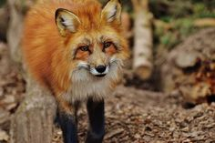 Free Image on Pixabay - Fuchs, Wildpark Poing, Animal Nikon D3200, Dslr Nikon, Public Domain, Wild Park, Animal Law, Ap Environmental Science, Valentino, Wake Forest University, World Photo