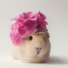 L'hipster più seguito del web è una piccola palla di pelo che ama posare con occhiali neri o coroncine di fiori. Booboo è una Cavia Pallas
