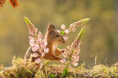 red squirrel standing with lupine flowers