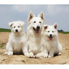 White Swiss Shepherd 2011