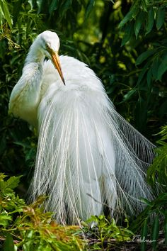 Egret in breeding plumage