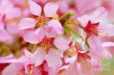 Photograph - Cherry Blossom Special II by Regina Geoghan