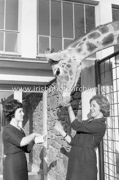 Elizabeth Geoghegan (left) and Violette Higgins feeding the giraffe adopted by Paulgrave Murphy at Dublin Zoo. Dublin Zoo, Photo Archive, Giraffe, Irish, Adoption, Image, Foster Care Adoption, Irish People, Giraffes