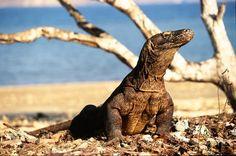 Pulaua Komodo