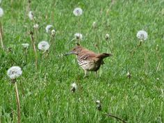 Brown Thrasher: Every spring we listen to the male Brown Thrasher sing for hours on end.    He mimics every other bird species, usually repeating each call two to three