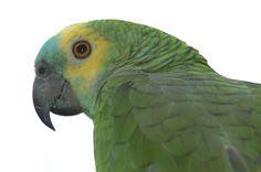 Blauwvoorhoofd amazone papegaai beschikbaar bij Hareco dier en vriend