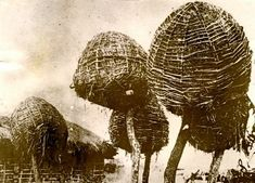 South African grain elevator farming (1930s) | They are built round the tops of small trees, and look like gigantic nests.