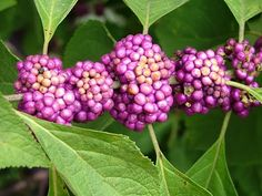 BEST EVER CORNBREAD DRESSING  Beauty Berry Bush growing in my sister-in-laws yard...  can always count on Fall to be around the corner with they begin to show  their beautiful purple berries.