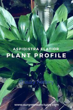 Cast Iron Plant, Houseplants, Indoor Plants, Garden Ideas, Backyard, Profile, Medium, Green, Tips