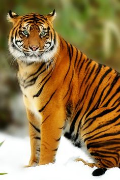 SUMATRAN TIGER - Panthera tigris sumatrae. Photo: Jeff Preletz (Big Cats)…