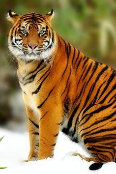 Sumatran Tiger by Jeff Preletz