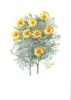 Crown Daisy 2
