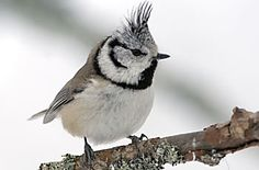 Töyhtötiainen  BirdLife Suomi - Pihabongaus