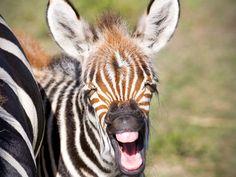 Know Our Stars: Zebras | Busch Gardens Tampa