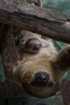 Baby sloth at London zoo