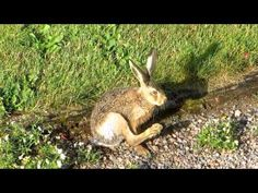 Young Brown Hare washing face and feet.