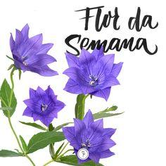 A linda e delicada Campânula esta em nossa pesquisa sobre as flores que adoramos! Anderson Santos, nosso colaborador biólogo e botânico conta suas particularidades nesta matéria!