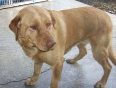 Asia is an adoptable Yellow Labrador Retriever Dog in Palatine, IL. New Arrival Yel Lab gal,, super sweet. New Picture coming soon as this is the one taken at the High Kill shelter she was dumped at. ...