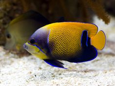 Blue-gridled Angel-fish | Flickr - Photo Sharing!
