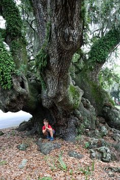 Lover's Oak, 900 year-old live oak tree, Brunswick Trees And Shrubs, Trees To Plant, Weird Trees, Live Oak Trees, Giant Tree, Unique Trees, Old Trees, Tree Trunks, Nature Tree