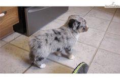 Meet Female a cute Miniature Australian Shepherd puppy for sale for $550. Sold!!!!Precious Blue Merle Female