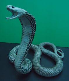 taxidermy cobra snake / unmounted real running spitting cobta naja sputatrik snake stuffed taxidermy. $60.00, via Etsy.