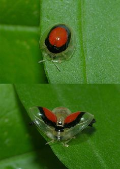 Darting Tortoise #Beetle (Charidotella sp) #insect #Panama By Arthur Anker