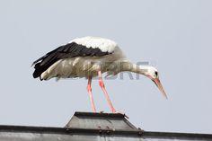 #Balancing #Stork @123rf #123rf #animals #birds #birdlife #summer #austria #burgenland #wings #nature #stock #photo #hires #portfolio #download
