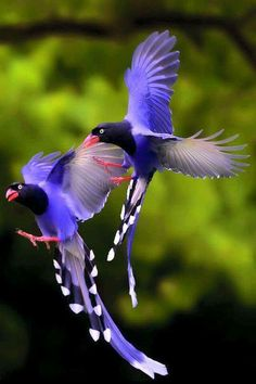 """Facts You Never Knew Taiwan Blue Magpies. The Taiwan Blue Magpie also called """"long-tailed mountain lady"""", is a member of the Crow family. It is an endemic species living in the mountains of Taiwan at elevations of 300 to Pretty Birds, Beautiful Birds, Animals Beautiful, Beautiful Pictures, Amazing Photos, Beautiful Things, Stunningly Beautiful, Kinds Of Birds, All Birds"""