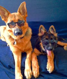 GSDs-Sulli & Finn...2 cool dogs!